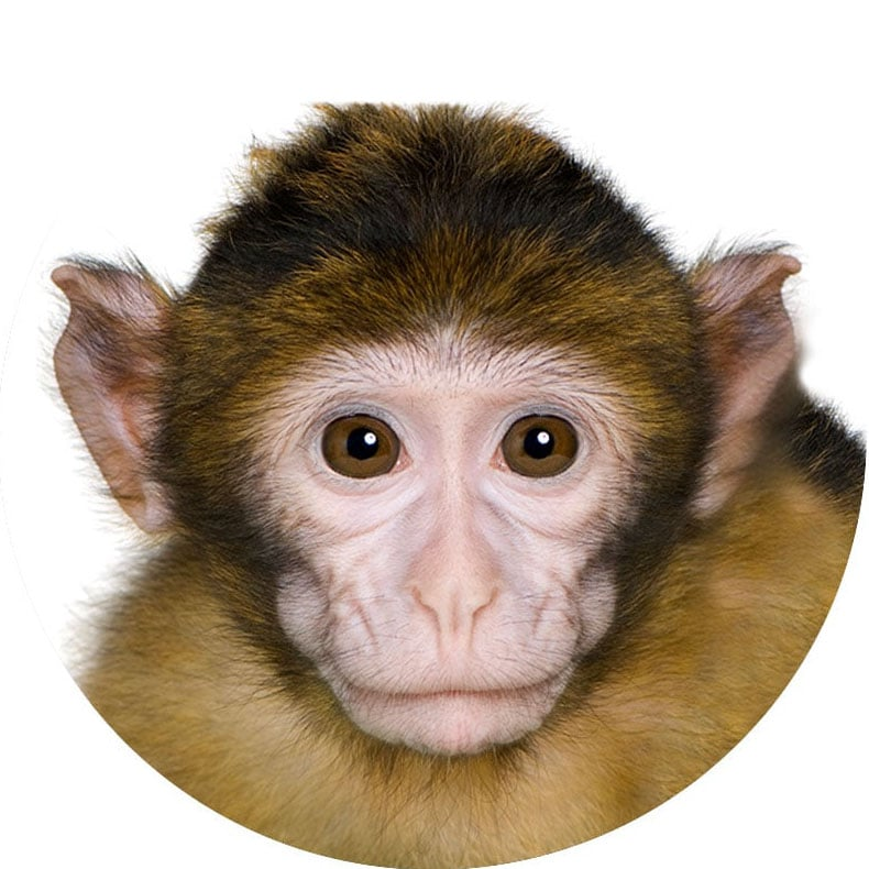Image of a Monkey
