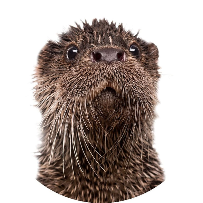 Image of a Otter